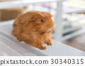 Guinea Pig, Cavia porcellus 30340315