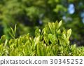 หญ้าอ่อน,ชา,ผักใบ 30345252