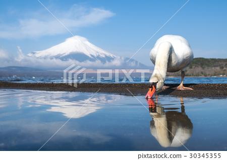 White swan at Yamanaka lake  30345355