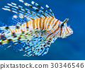 Lionfish in blue water 30346546
