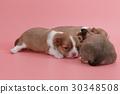 Newborn chihuahua puppy sleeping together 30348508