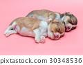 Newborn chihuahua puppy sleeping together 30348536