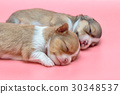 Newborn chihuahua puppy sleeping together 30348537