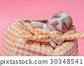 Newborn chihuahua puppy sleeping in bag 30348541