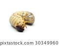 Larva of Oryctes rhinoceros 30349960