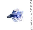 ปลา,ปลากัด,หาง 30351154