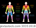Muscle Chart Male Body Colored Muscles 30351618