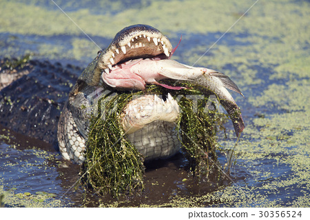 alligator eating a large fish 30356524