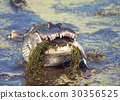 alligator, animal, crocodile 30356525