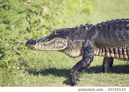 Large Alligator walking 30356530