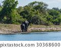 African, elephant, Loxodonta 30368600