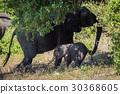 African, elephant, Loxodonta 30368605