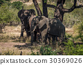 Three elephants beneath tree in dappled sunlight 30369026