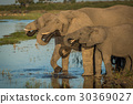 Three elephants in line drinking from river 30369027
