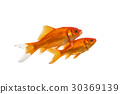 Two swimming goldfish on a white background 30369139