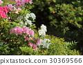 azalea, azaleas, bloom 30369566