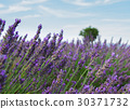 lavender, field, landscape 30371732