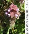 lamium purpureum, purple dead nettle, bloom 30371891