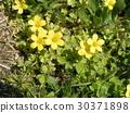 oxalis corniculata, bloom, blossom 30371898