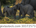 Two baby elephants walking between both parents 30372573