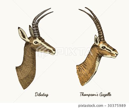 antelopes dibatag and thompsons gazelle vector 30375989