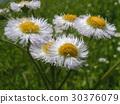 common fleabane, philadelphia fleabane, bloom 30376079