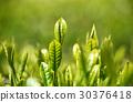 หญ้าอ่อน,ชา,ผักใบ 30376418