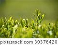 หญ้าอ่อน,ชา,ผักใบ 30376420