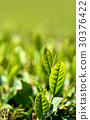 หญ้าอ่อน,ชา,ผักใบ 30376422