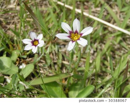 blue-eyed grass, sisyrinchium rosulatum, bloom 30388067