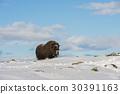 國家公園 挪威 野生 30391163