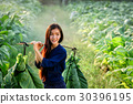 Lao women carry tobacco leaf to market or incubate 30396195