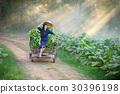 tobacco, leaf, farming 30396198
