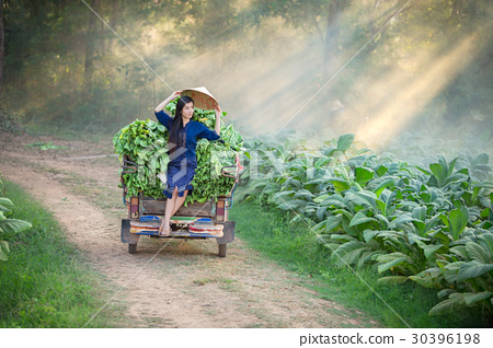 Lao woman is farming in the tobacco leaf field. Relaxing in  tob 30396198