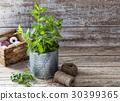 mint, pot, leaf 30399365
