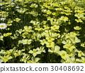 加州罂粟 黄色 一年生植物 30408692