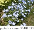 nemophila, bloom, blossom 30408833
