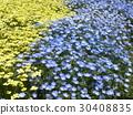 加州罂粟 林草属植物(一种园艺观赏植物) 花朵 30408835