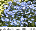 nemophila, bloom, blossom 30408836