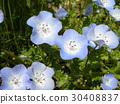 Nemophila藍色花朵像孩子的微笑 30408837