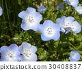 nemophila, bloom, blossom 30408837
