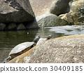 乌龟 爬行动物 爬虫类的 30409185