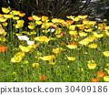 加州罂粟 黄色 一年生植物 30409186