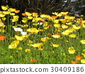 california poppy, yellow, annual plant 30409186