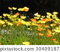 加州罂粟 黄色 一年生植物 30409187