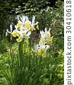 dutch iris, white, yellow 30410618