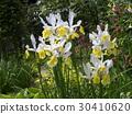 dutch iris, white, yellow 30410620