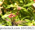euphorbia milii, bloom, blossom 30410621