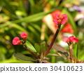 虎刺梅 花朵 花卉 30410623