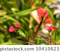 euphorbia milii, bloom, blossom 30410623